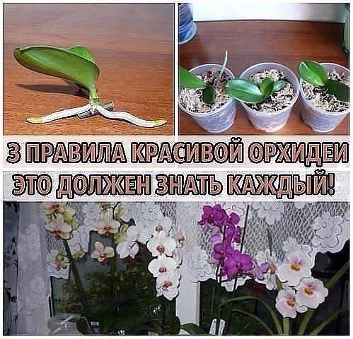 Не затягивайте с пересадкойПересаживают орхидеи один раз в два-три года, по окончании цветения или в конце периода покоя. Но часто это приходится делать сразу после покупки. Дело в том, что перед п…