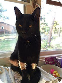 Colorado Springs Co Domestic Mediumhair Meet Tonka A Cat For Adoption Http Www Adoptapet Com Pet 9484567 Cat Adoption Kitten Adoption Cats And Kittens