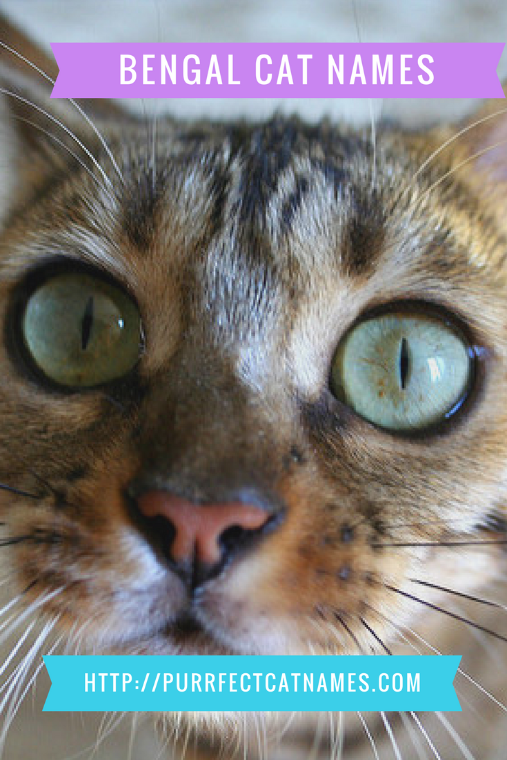 Did You Adopt A Bengal Cat Or Kitten Find The Purrfect Name For Them Bengal Cat Bengal Cat Names Cat Names