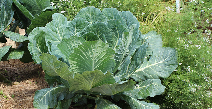Pin by Gordana on ZDRAVJE | Carrot companion plants, How ... Turnip Companion Plants