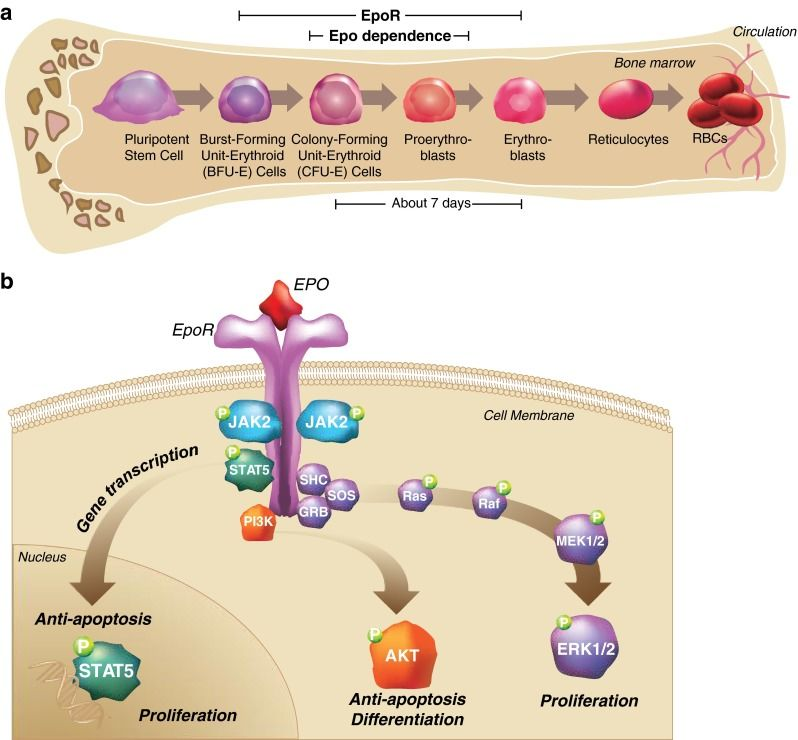 The process of erythropoiesis Erythroid progenitors in the bone