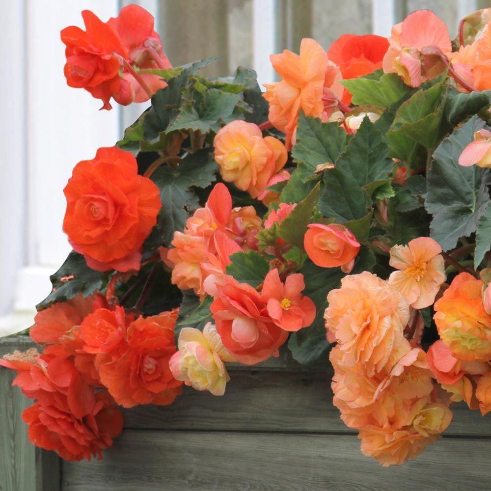 5 Cm To 6 Cm Roseform Orange Begonia Bulbs 3 Pack 20000282 The Home Depot Begonia Bulb Tuberous Begonia