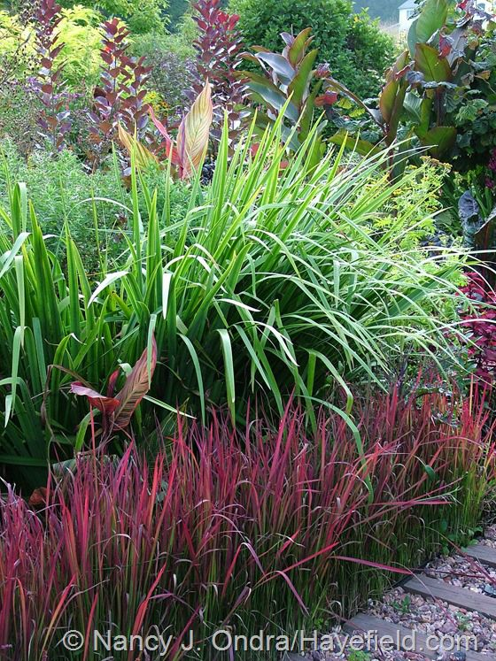 Another grass that s terrific at this time of year is for Japanese ornamental grass
