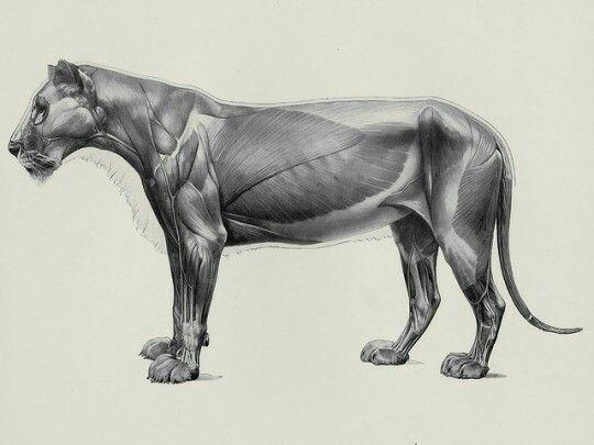 Herman Dittrich - Handbuch der Anatomie der Tiere für Künstler ...