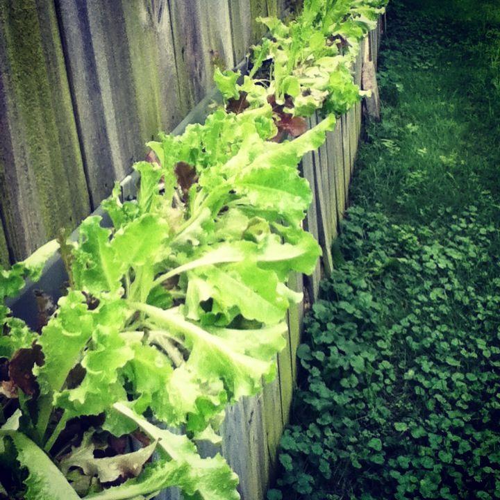My Lettuce Gutter Garden Gutter Garden Garden Lettuce