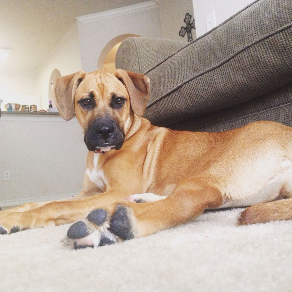 Boxador Crazycali Boxador Puppies Baby Dogs Boxer Breed