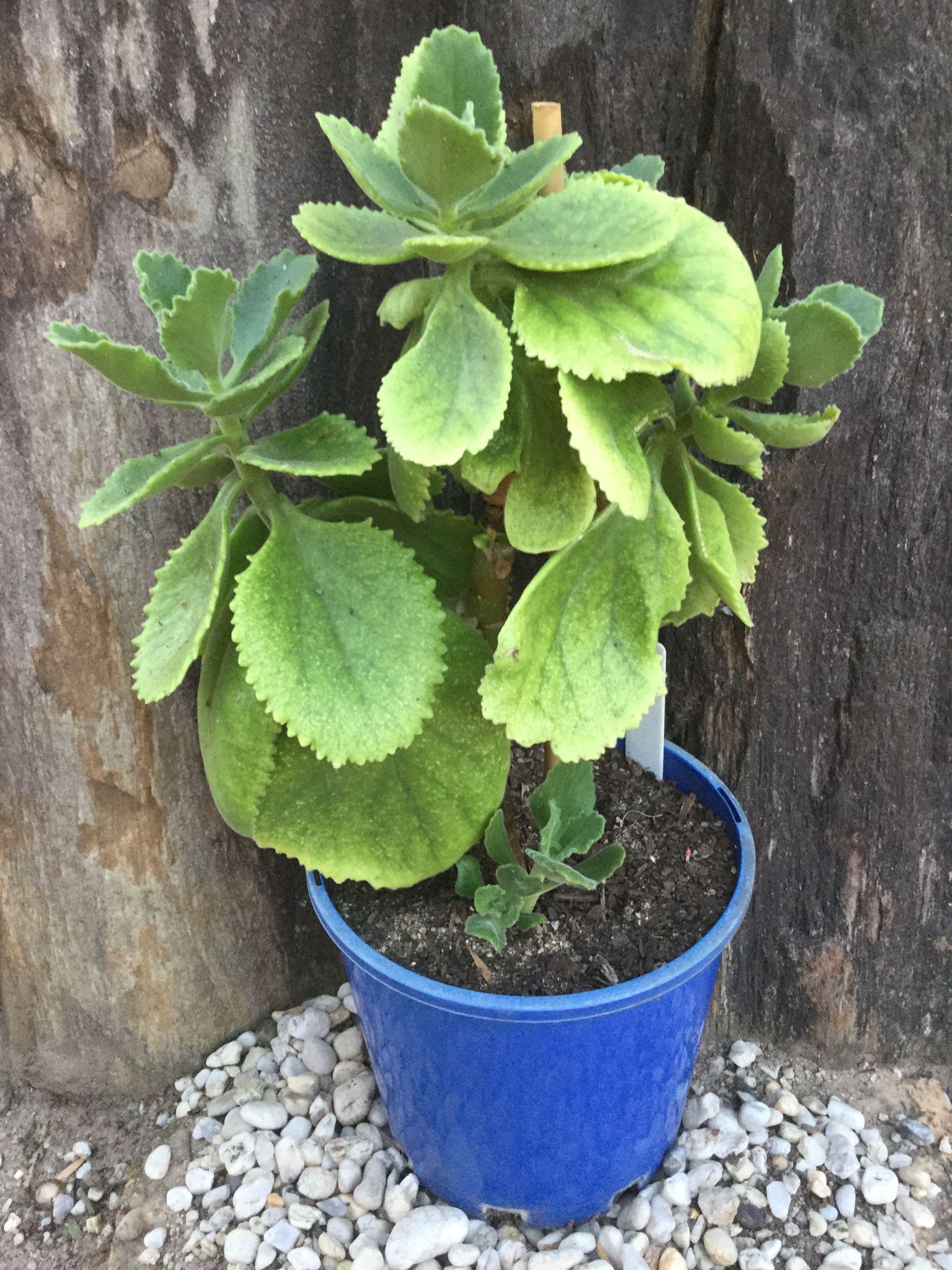 Kalanchoe Schimperiana Succulents Plants Suculents