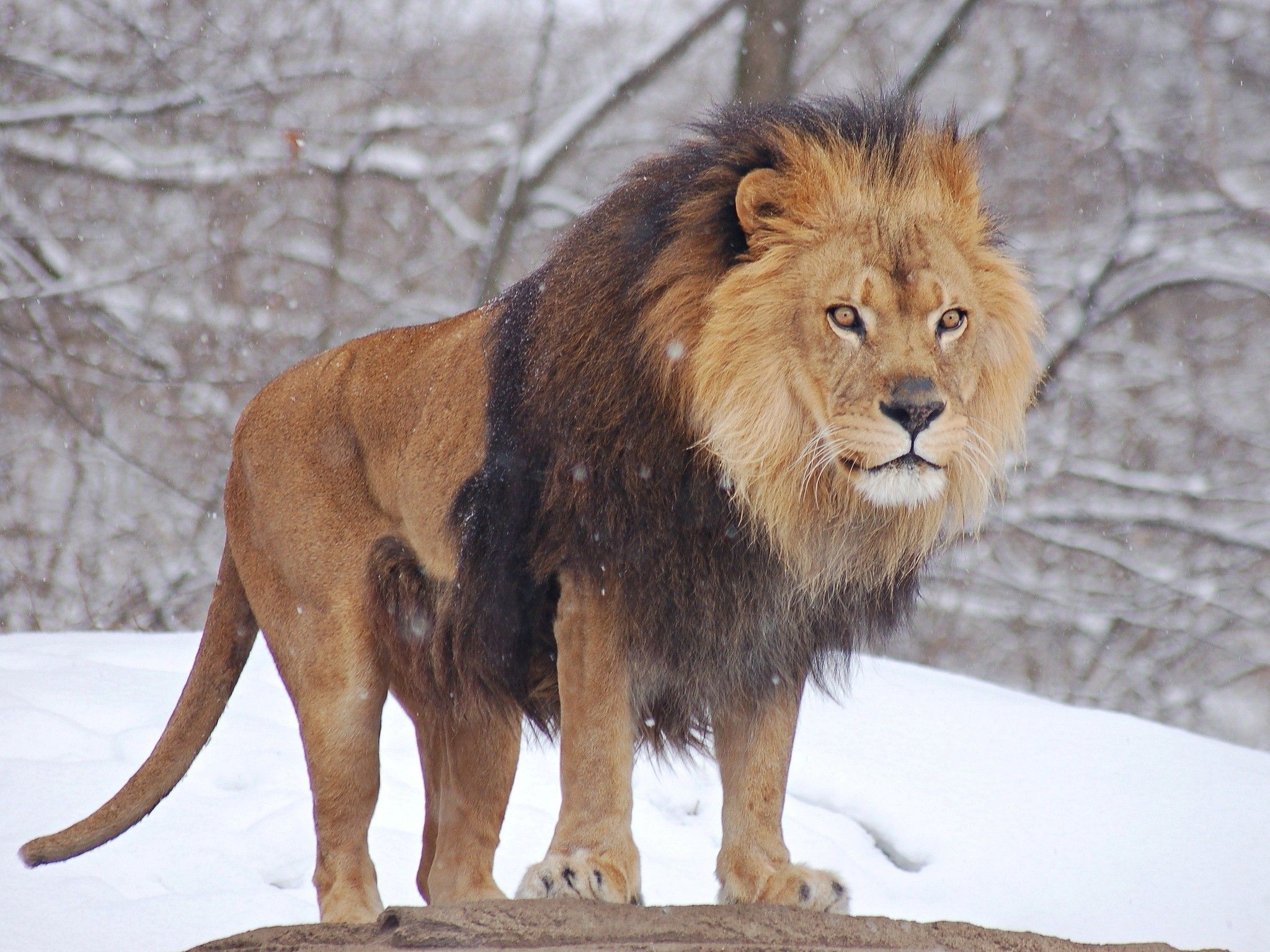 African Lion Walking In Zoo Photo