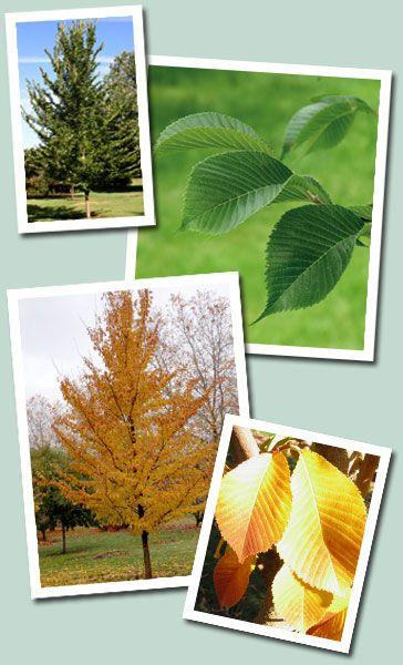 Emerald Sunshine Elm How To Attract Birds Elm Elm Tree