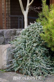 Blue Rug Juniper Juniperus Horizontalis Wiltonii One Of