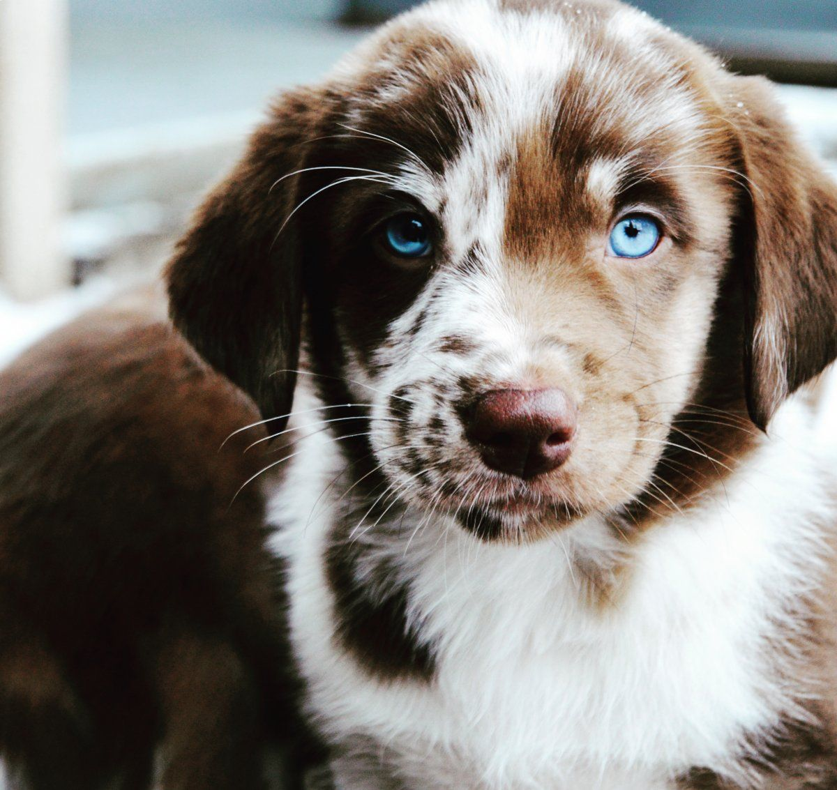 Aussiedor Labrador X Australian Shepherd Puppies And Kitties