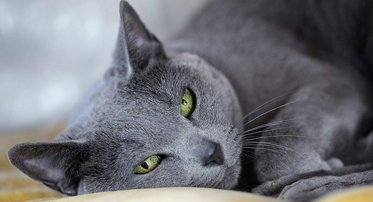 The Russian Blue Cat A Guide To The Breed From The Happy Cat Site Russian Cat Russian Blue Cat Russian Blue