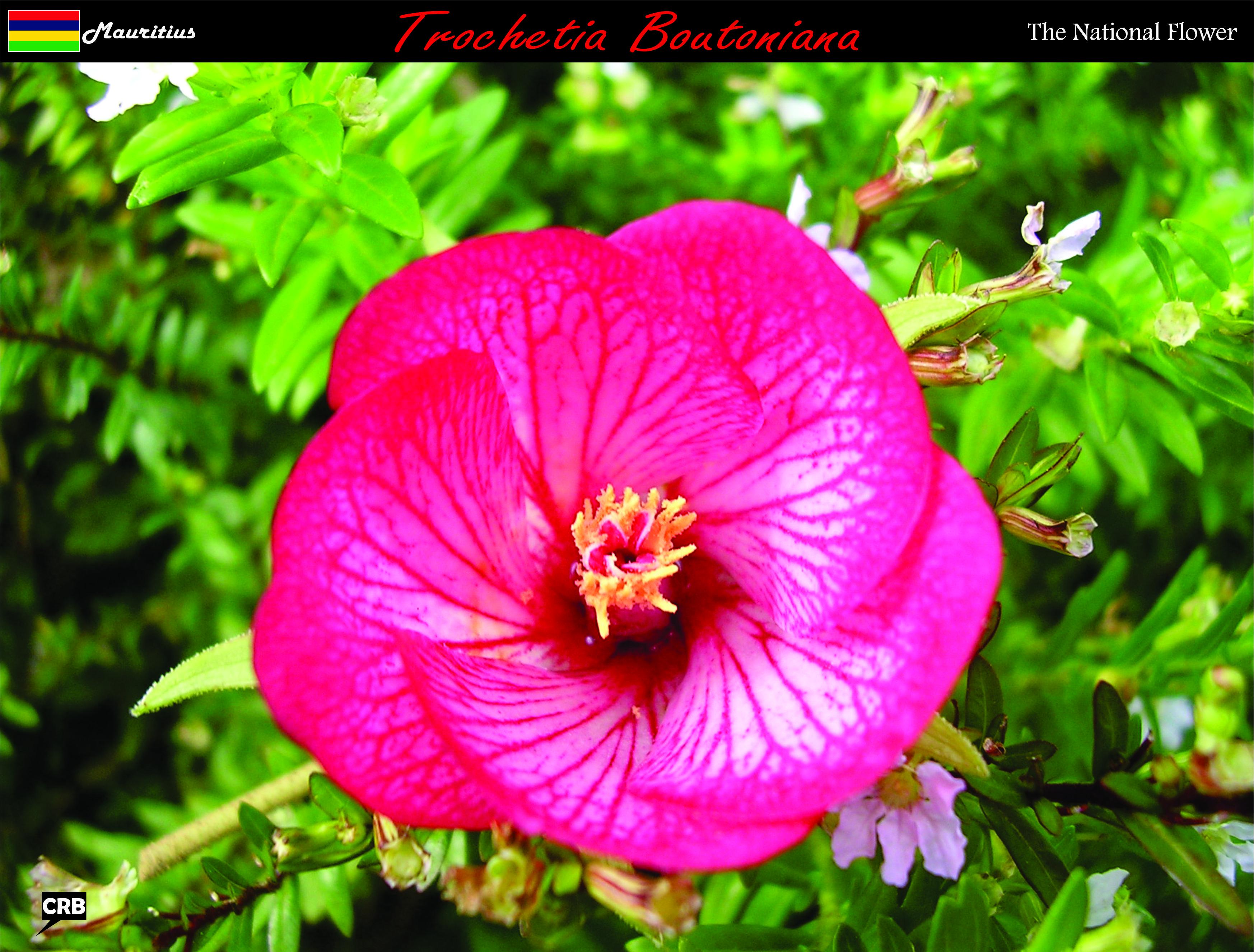 Flower Mauritius National Flowers Pinterest Mauritius