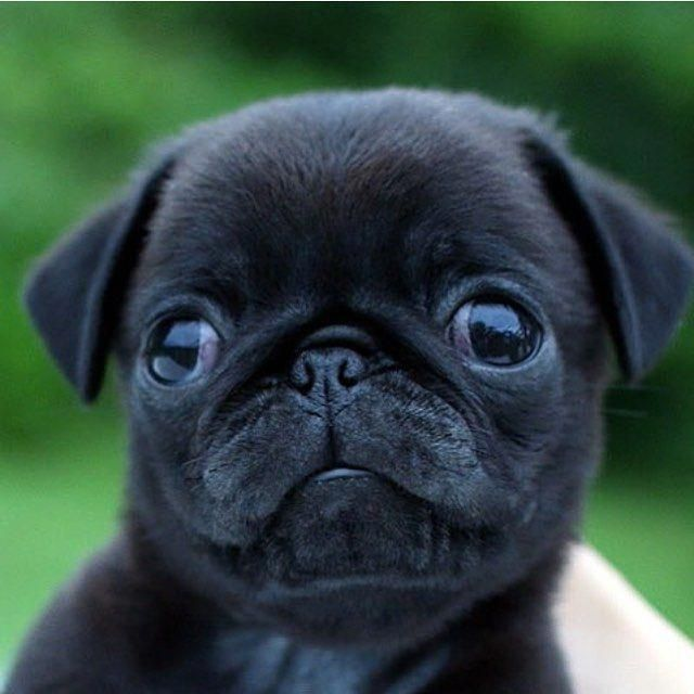 #cutepugpuppies