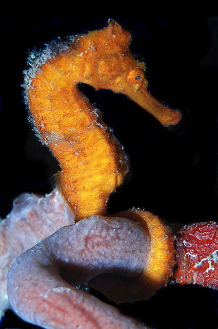 Seahorse Seahorse Sea Dragon Animals