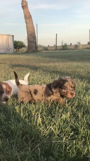 Miniature Dachshund Puppies For Sale San Antonio Tx Area Near