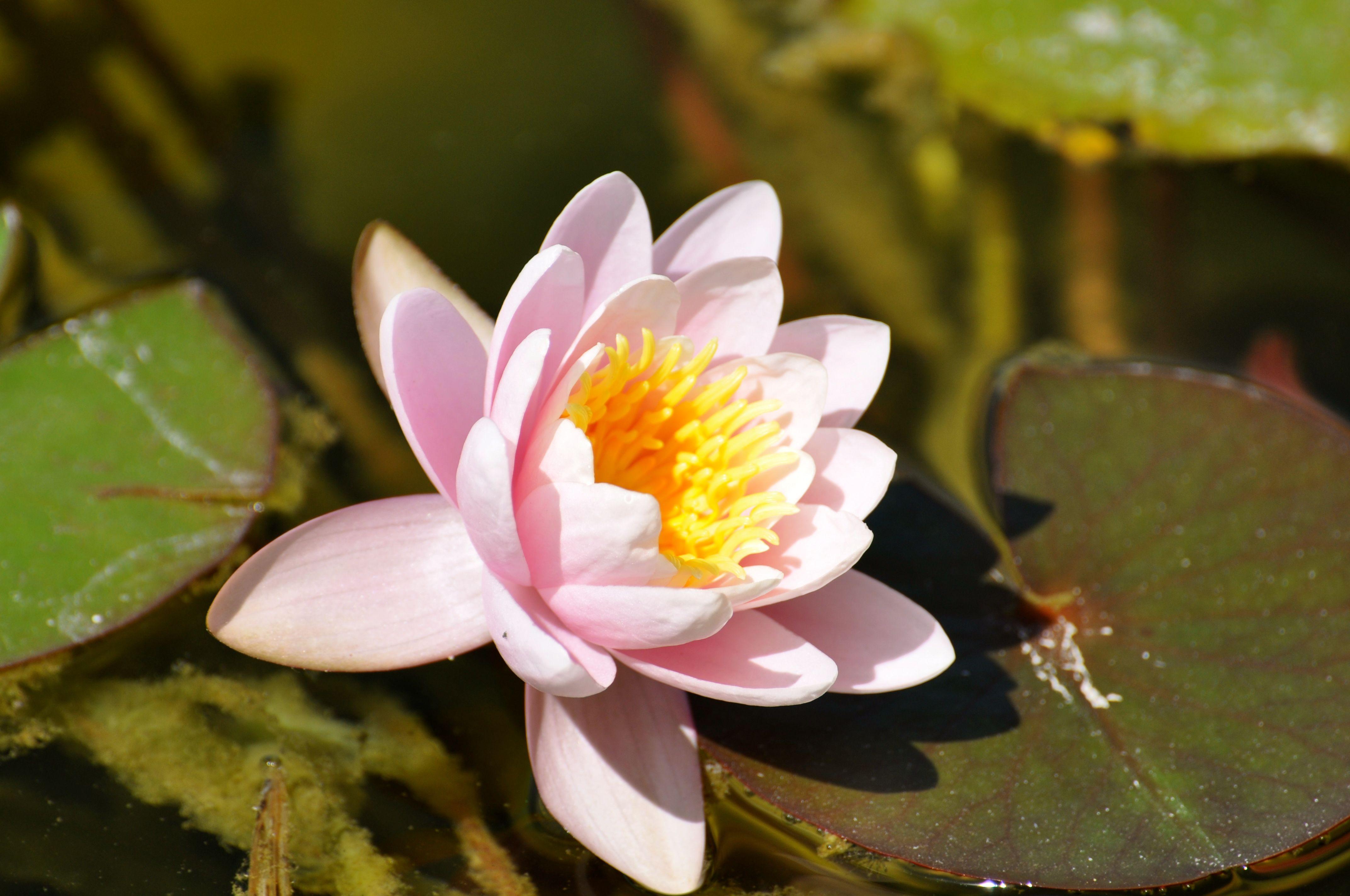 flor del loto rosada.