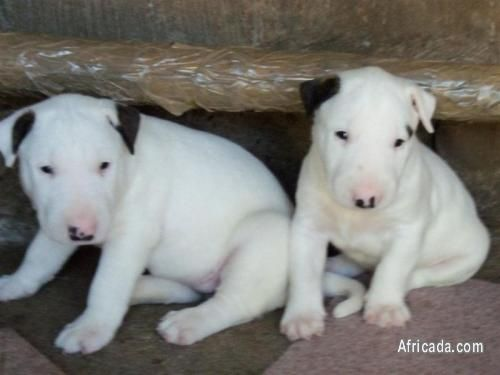 Dogs Puppies For Sale R2 990 In Kwazulu Natal South Africa