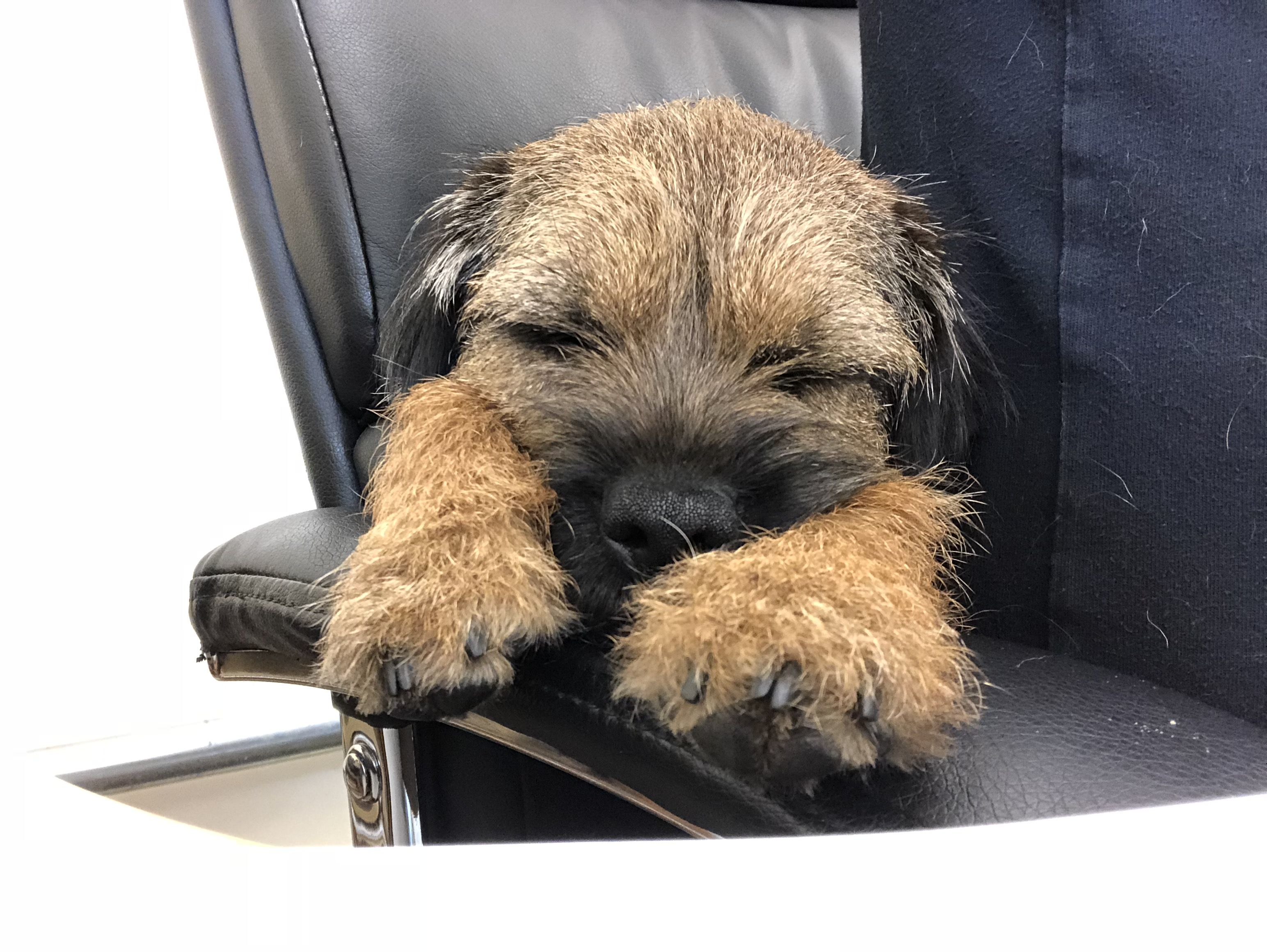 Rosie The Border Terrier Dreaming Of Her Next Big Adventure