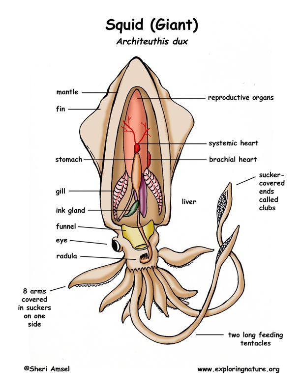 Cephalopod Giant Squid Squid