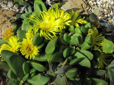 Yellow flower succulentg 400300 flowering cactus succlents yellow flower succulentg 400300 mightylinksfo