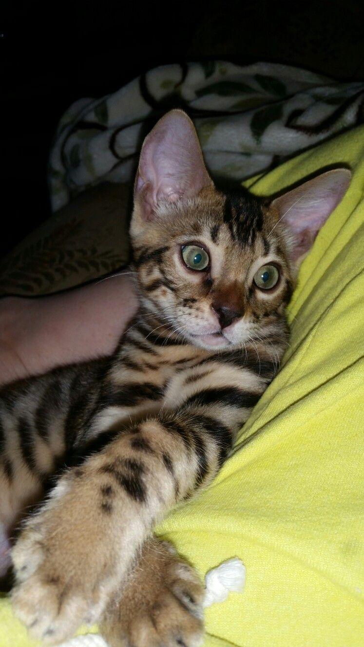Full Grown Bengal Cat For Sale