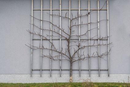 spalierobst zwetschgenbaum als spalier geformt spalier pinterest zwetschgenbaum spalier. Black Bedroom Furniture Sets. Home Design Ideas