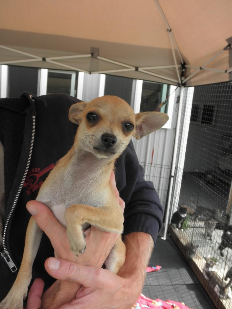 Meet Litter Of 4 Chihuahuas A Petfinder Adoptable Chihuahua Dog