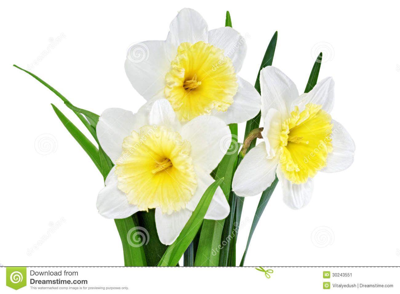 White Daffodil Flower Google Search Flowers Pinterest