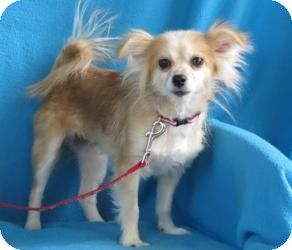 Papillon Chihuahua Mix Dog For Adoption In Minneapolis Minnesota Mahalia Papillon Mix Chihuahua Mix Pets