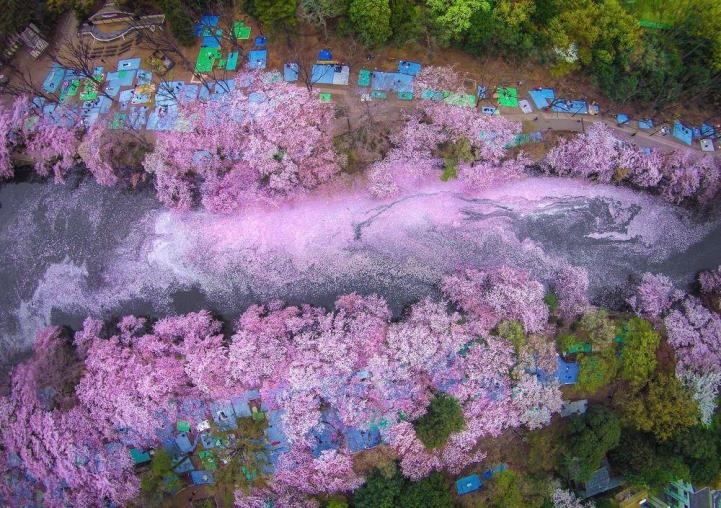 Fallen Cherry Blossom Petals Fill A Lake In Japan For Naturally Beautiful Scenes From Above Cherry Blossom Petals Cherry Blossom Japan Beautiful Places In Japan