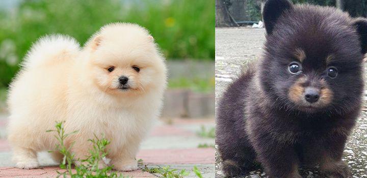 pomeranian newborn puppies care