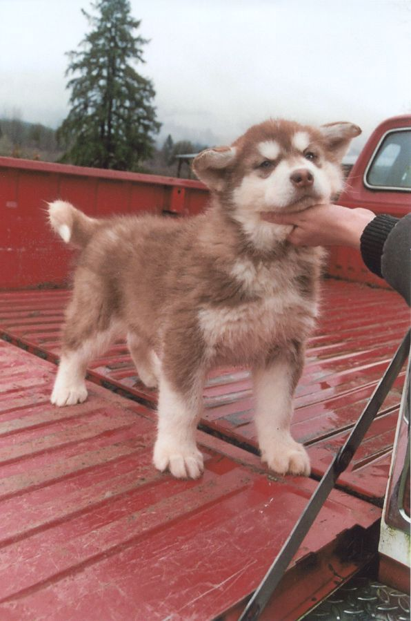 Picture Malamute Puppies Siberian Husky Puppies