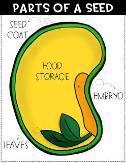 Parts Of A Seed Diagram Parts Of A Seed Kindergarten Science Homeschool Science