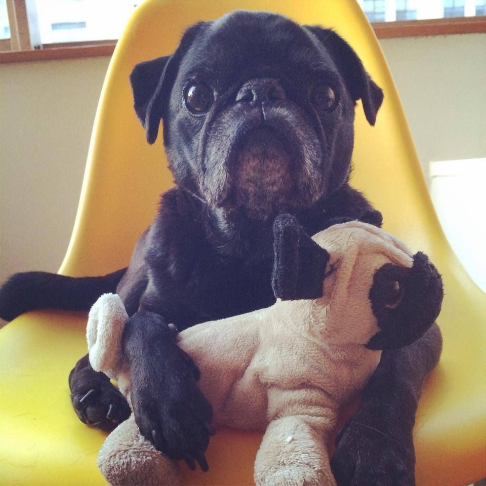 Baby Pug There S Thunder And Lightning I M Scared Dogs