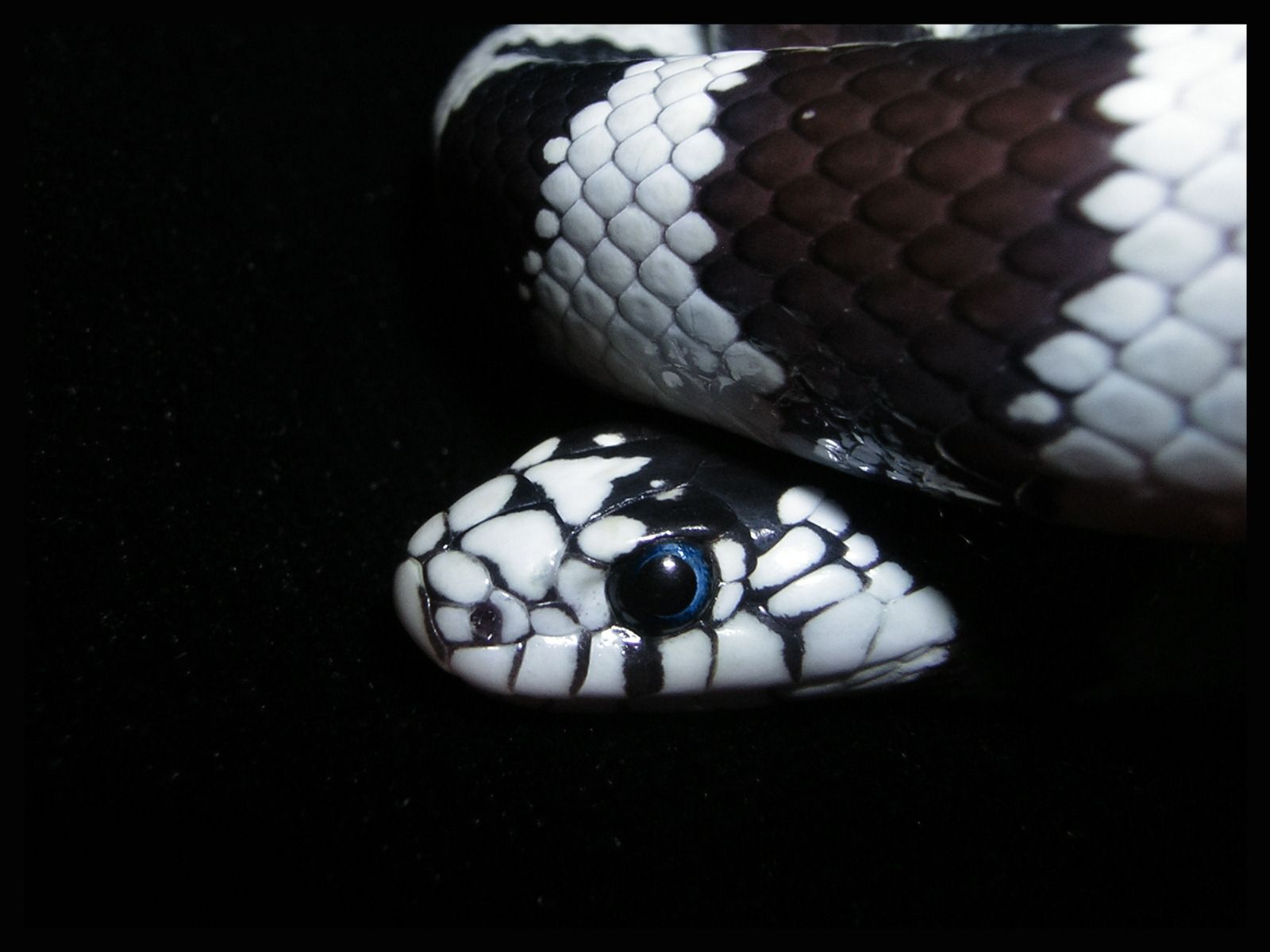 HD Snake Wallpaper 1920x1080 Black Wallpapers 43