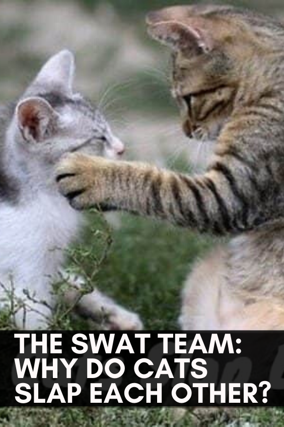 The Swat Team Why Do Cats Slap Each Other In 2020 Funny Cute Cats Cats Beautiful Cats Pictures