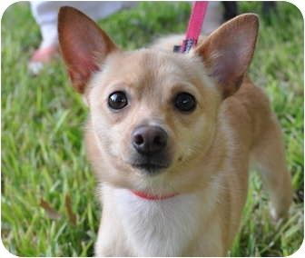Chihuahua Pomeranian Mix For Sale Google Search With Images