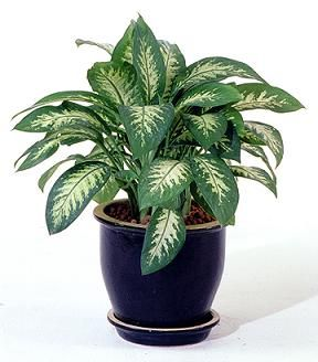 Chinese Evergreen Aglaonema Although The Dozens Of Varieties All Tolerate Poorly Lit Areas Variegated Forms With More Yellow Or White Need