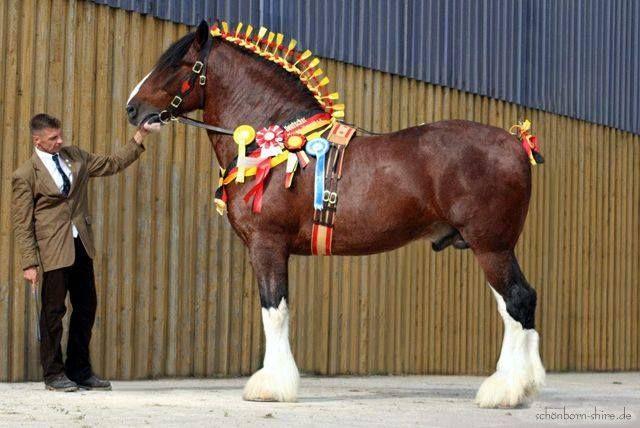 German Shire Horse Ociation E V My