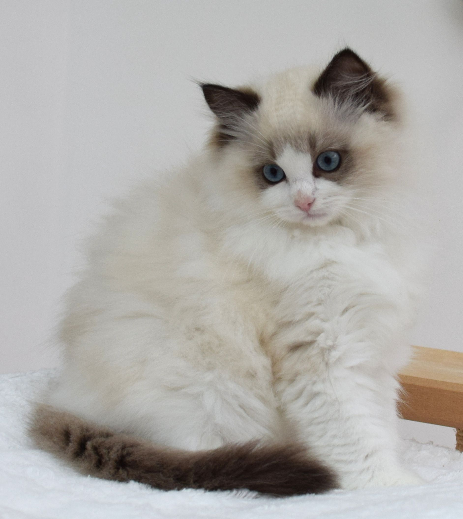 best photos and pictures ideas about birman cat and kitten - most ...