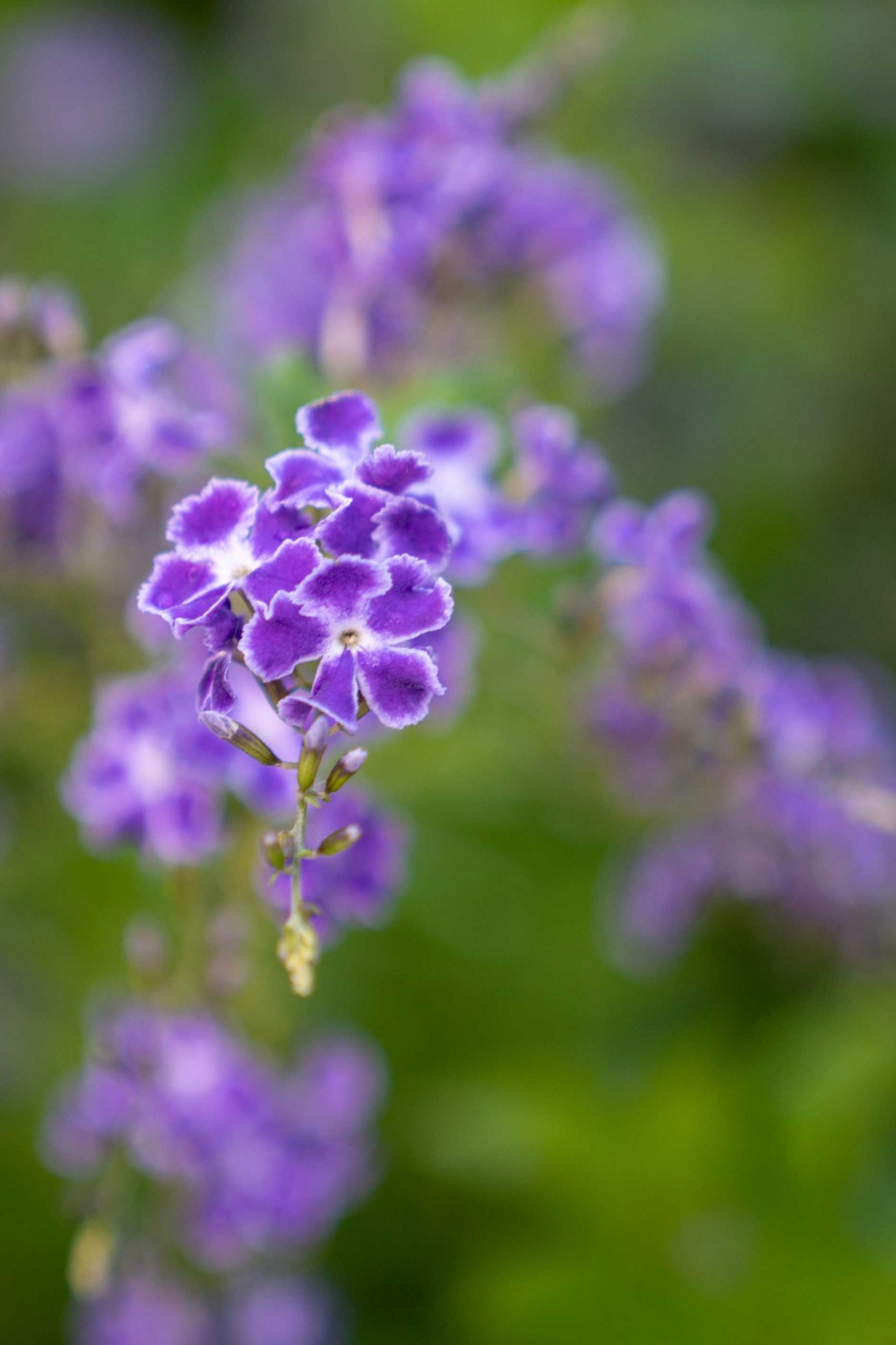Macro Photo Of Dainty Purple Flowers On A China Doll Plant In 2020 China Doll Plant Purple Flowers Macro Photos