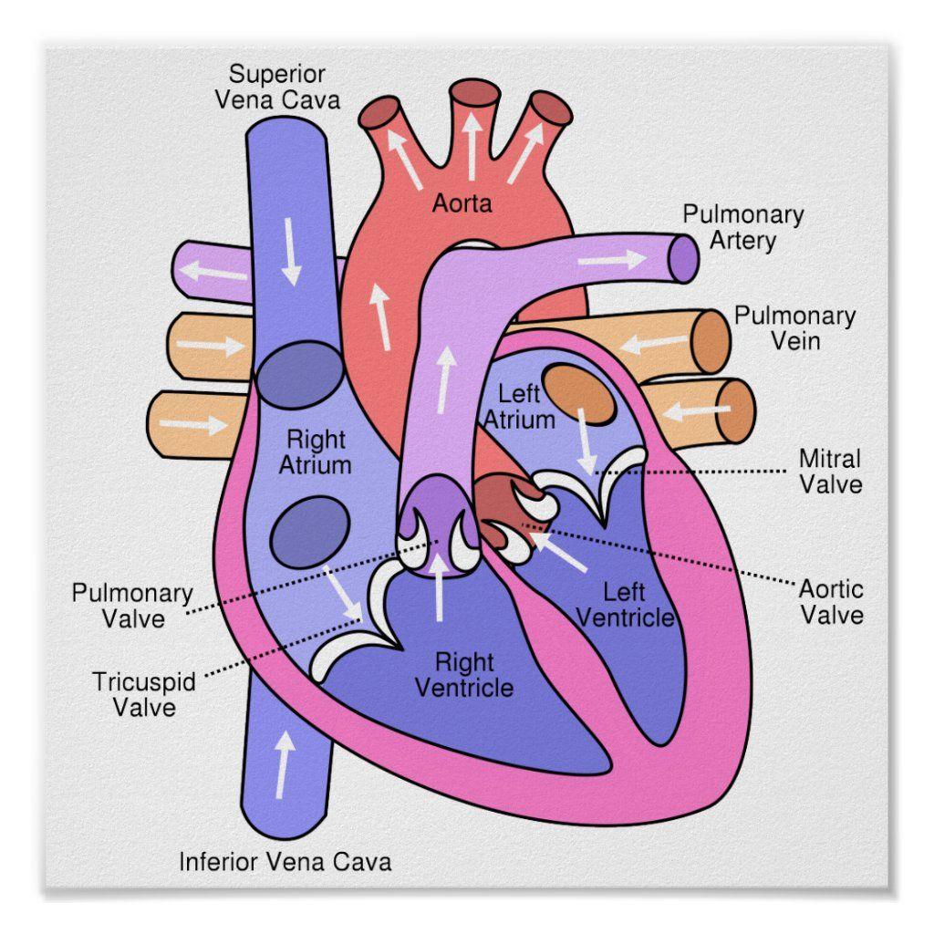 Human Heart Poster   Zazzle.com in 40   Human heart diagram ...
