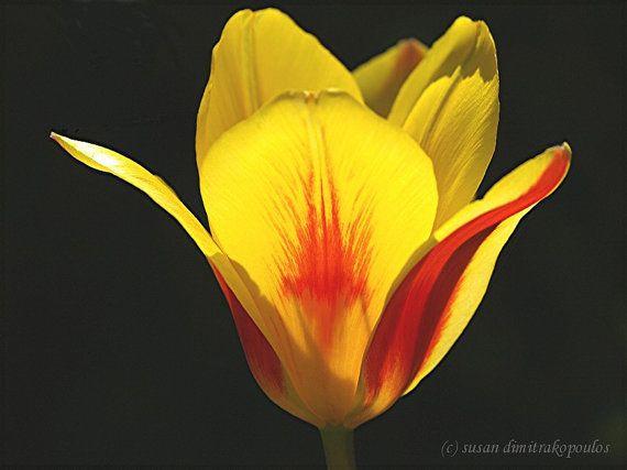 Tulip card flower  photograph  Splash  blank by Skybird111FineArt, $4.50