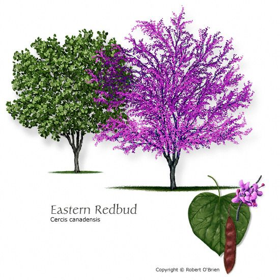 Cercis canadensis. I adore the heart-shaped leaves and the pretty pink flowers in the spring. Ours is loaded with buds this year.