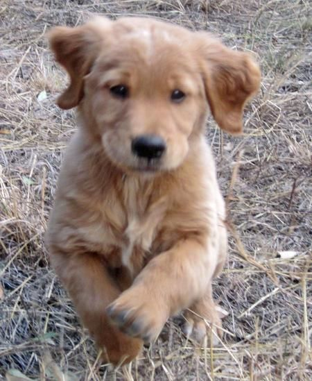 Cooper The Golden Retriever Golden Retriever Retriever Cute Animal Pictures