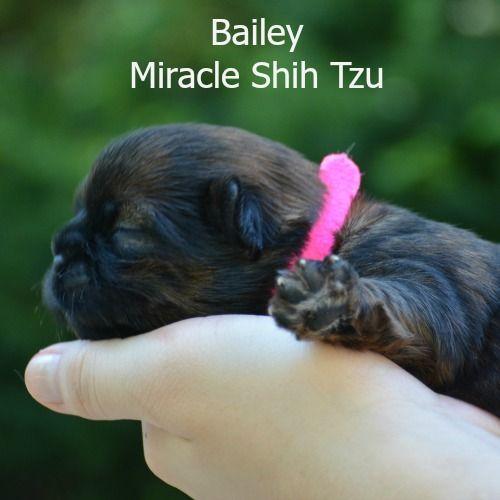Shih Tzu Puppies For Sale In N E Ohio Shih Tzu Puppy Shih Tzu