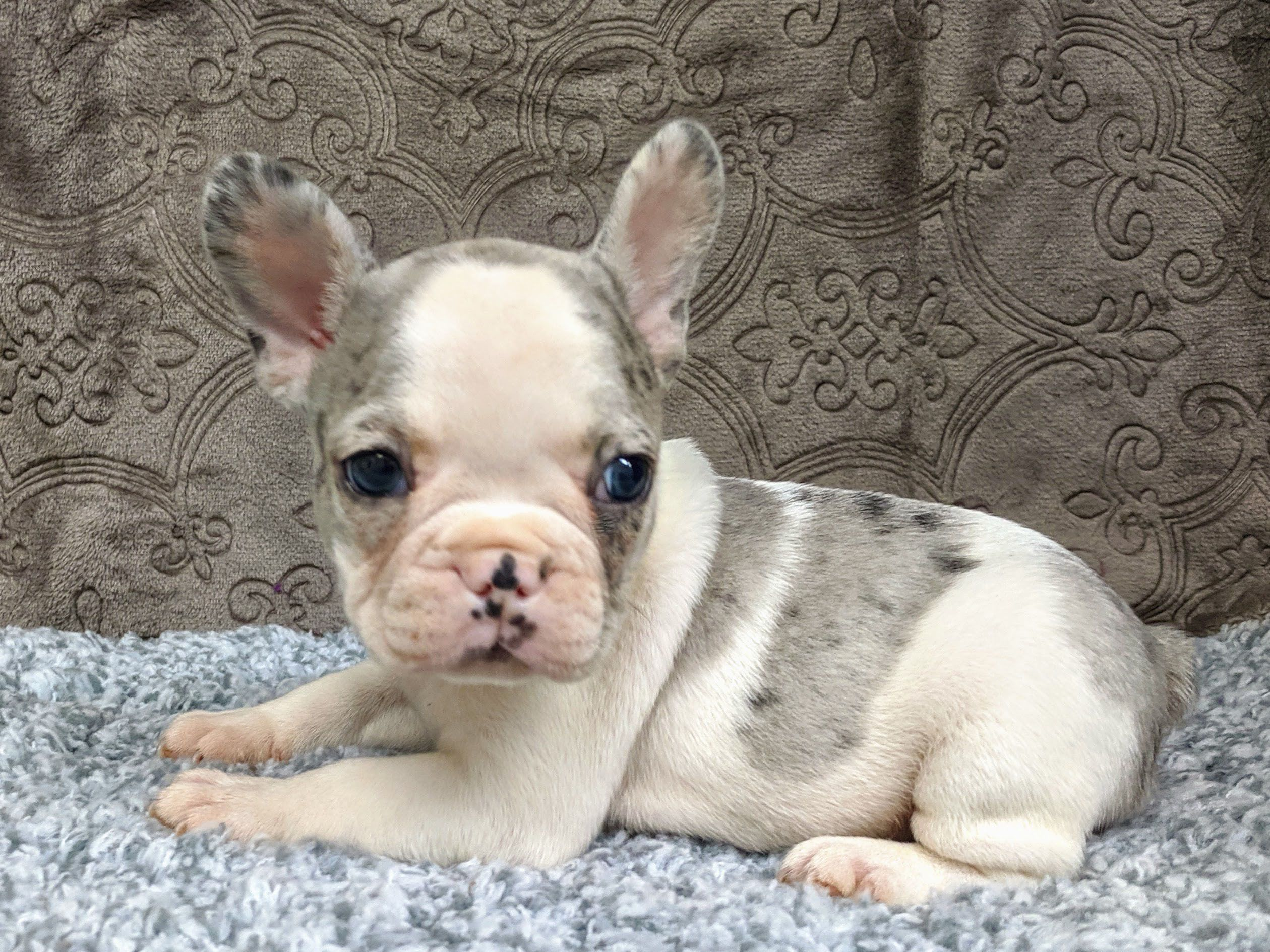 Puppies For Sale French Bulldog Puppies Puppy Adoption Pet Camera