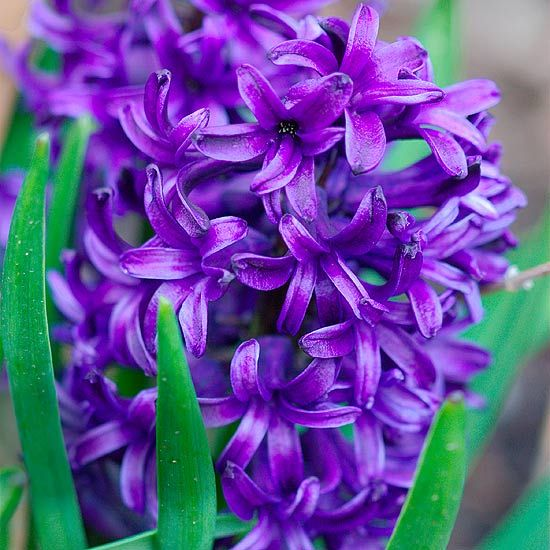 The Bhg Garden Editors Pick Their Favorite Spring Blooming Bulbs Spring Flowering Bulbs Spring Flowers Purple Flowers
