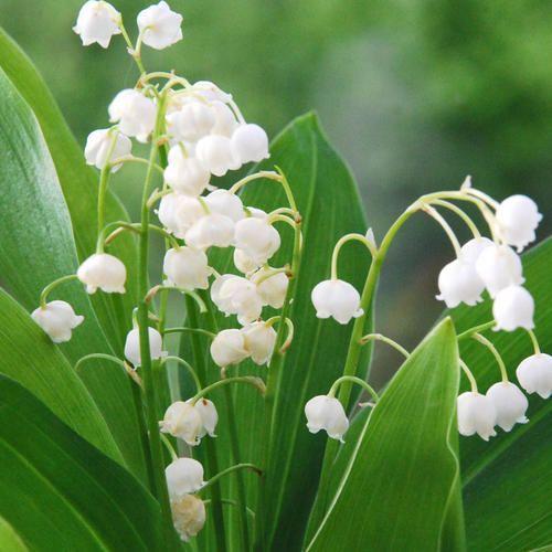 Convallaria Majalis My May Flower Flores Preciosas Flores Beautiful